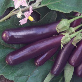 Hansel Hybrid Eggplant