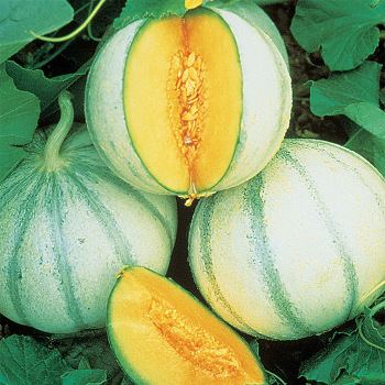 Savor Charentais Hybrid Melon