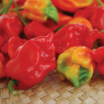 Trinidad Scorpion Pepper - 10 seeds