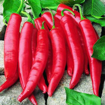 Amando Hybrid Cayenne Pepper