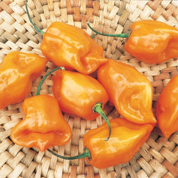 Orange Scotch Bonnet Habanero Pepper