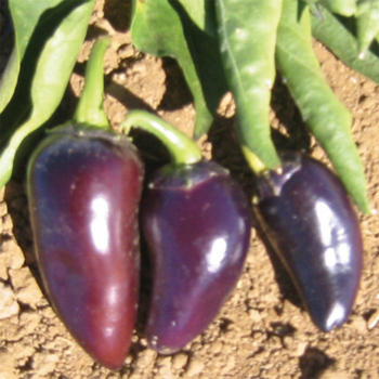 Purple Jalapeno Pepper