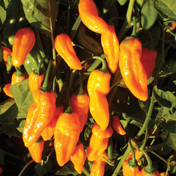 Golden Ghost Hybrid Pepper - 10 seeds