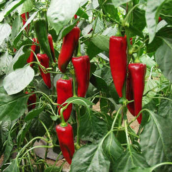 Atris Hybrid Pepper