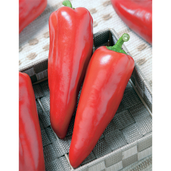 Crest Red Hybrid Pepper