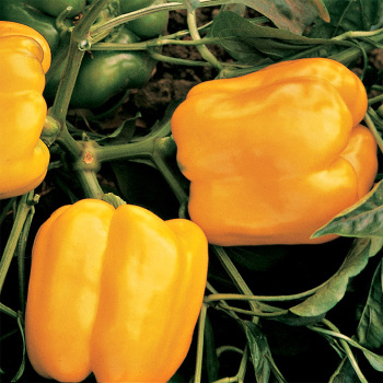 Golden Calwonder Pepper