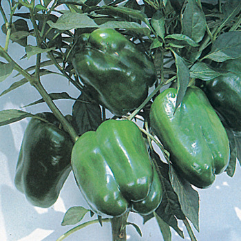 Keystone Giant Resistant 3 Pepper