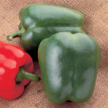 North Star Hybrid Pepper
