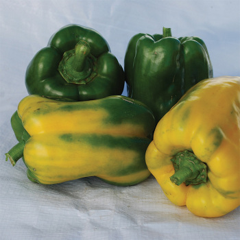 Yellow Monster Pepper