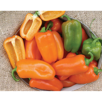 Yummy Orange Hybrid Pepper