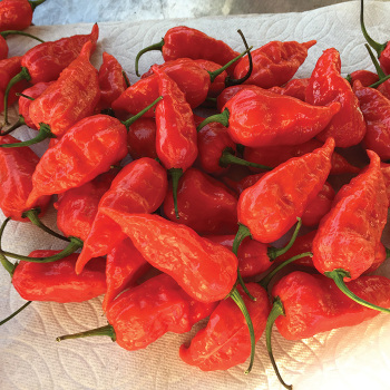 Dorsett Naga Pepper
