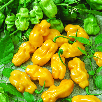 Where's The Heat? Habanero Pepper