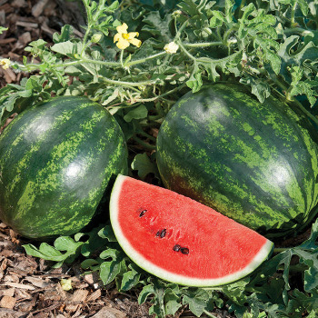 Mini Love Hybrid Watermelon