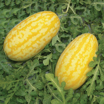 Gold In Gold Hybrid Watermelon