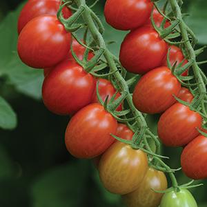 Hybrid Grape Tomato Seeds