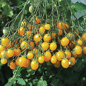 Open Pollinated Grape Tomato Seeds