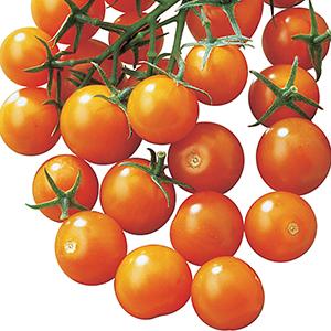 Cherry Hybrid Tomato Plants