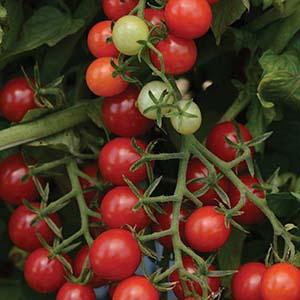 Cherry Open Pollinated Tomato Plants