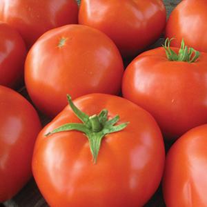 Medium-Small Hybrid Tomato Plants