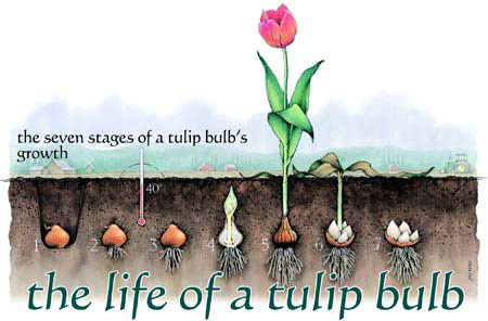 The Life of a Tulip Bulb