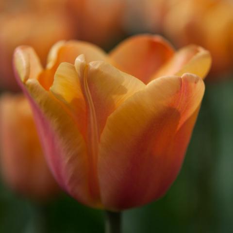 Apricot Foxx