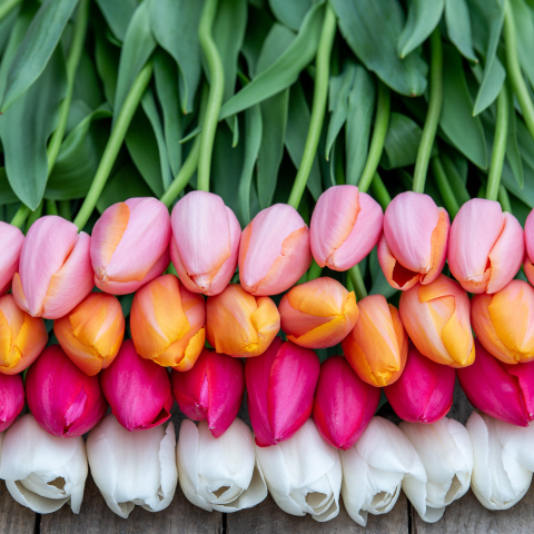 French Tulips - Grower's Choice