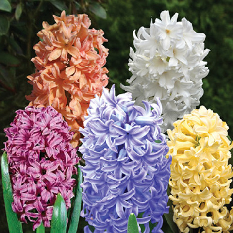Mixed Hyacinth Bulbs