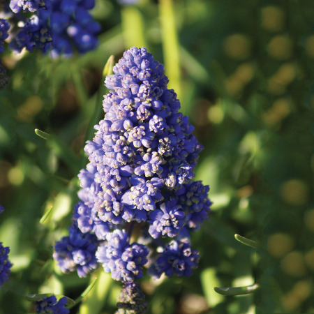 Muscari Blue Spike