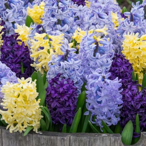 Tricolor Hyacinth Collection