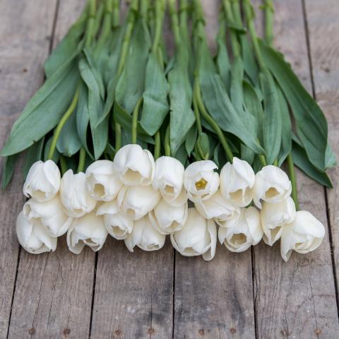 White (Ivory) French Tulips