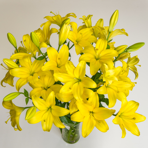 Golden Yellow Asiatic Lilies