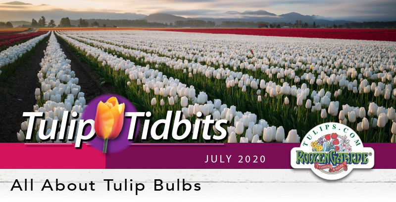 Tulips Tidbits July 2020 - All About Tulip Bulbs