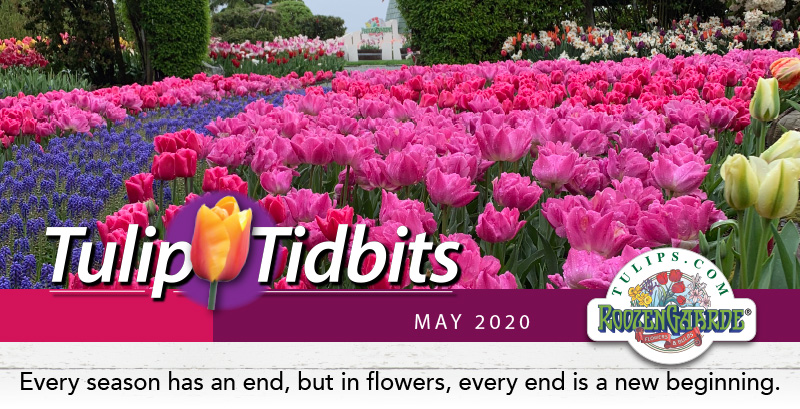 Tulips Tidbits May 2020 - Every season has an end, but in flowers, every end is a new beginning