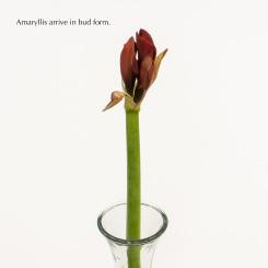 Amaryllis in Bud Form