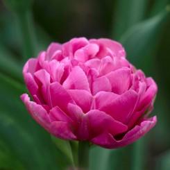amazing-grace-double-tulip