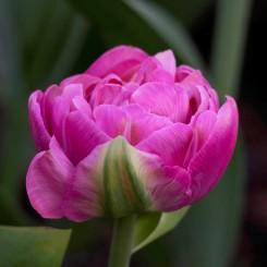 amazing-grace-double-tulips
