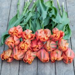 Avignon Parrot French Tulips