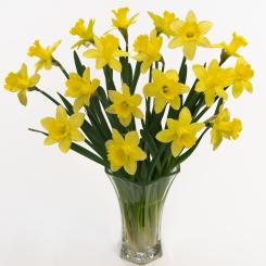 Greenhouse Daffodils