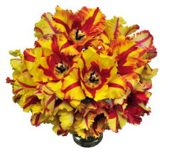 Flaming Parrot Field Cut Tulips