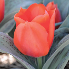 Giant Orange Sunrise Tulip