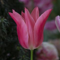 mariette-lily-flowering-tulip-variety