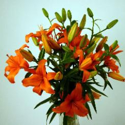 Orange Asiatic Lilies