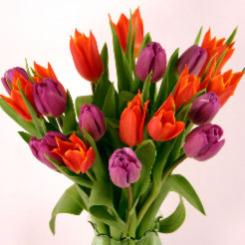 Orange & Purple Cut Tulips
