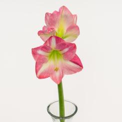 Pink Amaryllis Blooms
