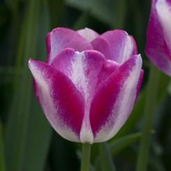 playgirl-triumph-tulip