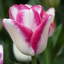 playgirl-triumph-tulip-variety