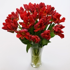 Ruffled Red (Parrot) Tulips