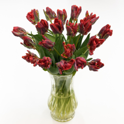 Rococo Red Parrot Tulips