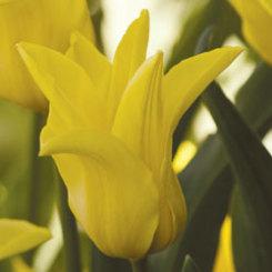 Yellowtip