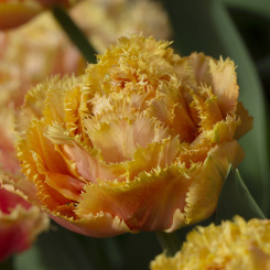 sensual-touch-fringed-tulip